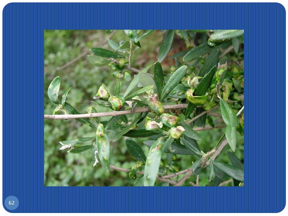 Κηκιδόμυιγα φύλλων ελιάς, Dasyneura oleae 61