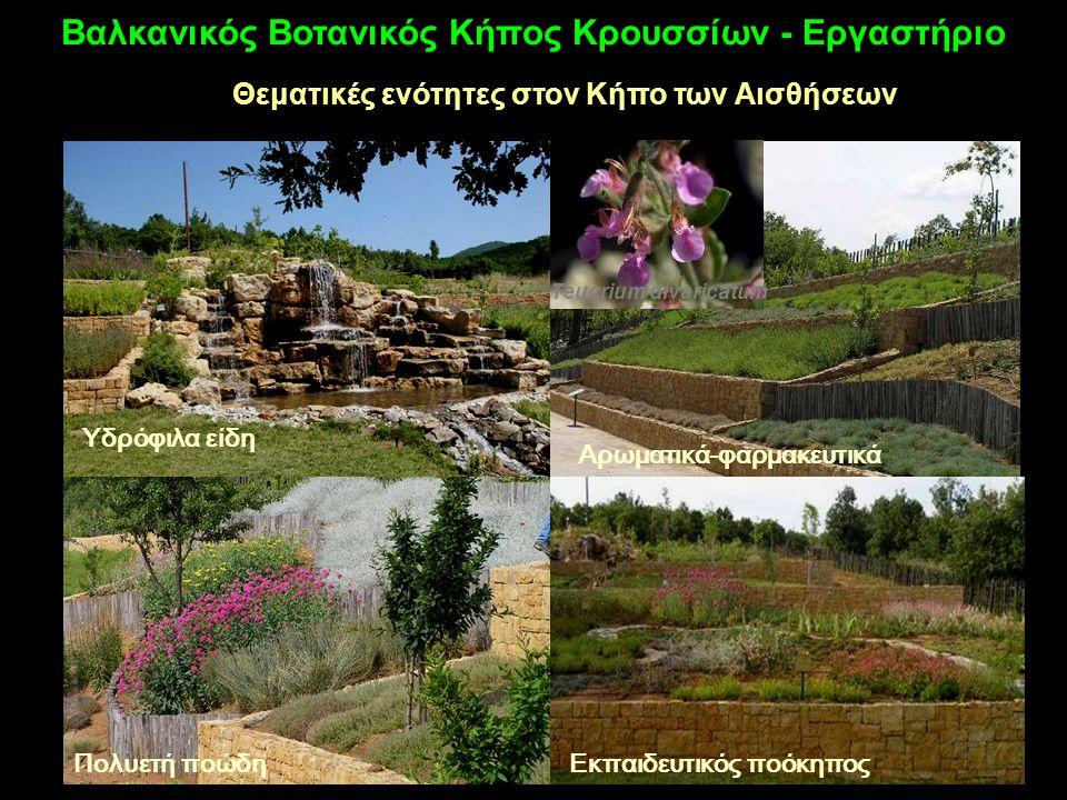 Θεματικές ενότητες στον Κήπο των Αισθήσεων Αρωματικά-φαρμακευτικά Teucrium divaricatum Πολυετή ποώδηΕκπαιδευτικός ποόκηπος Υδρόφιλα είδη Βαλκανικός Βοτανικός Κήπος Κρουσσίων - Εργαστήριο