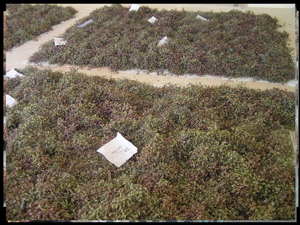 Καλλιέργεια Δίκταμου στον Πειραματικό Αγρό