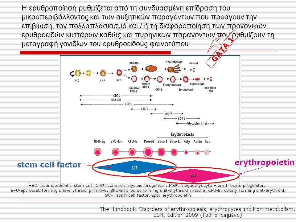 Η ερυθροποίηση ρυθμίζεται από τη συνδυασμένη επίδραση του μικροπεριβάλλοντος και των αυξητικών παραγόντων που προάγουν την επιβίωση, τον πολλαπλασιασμ