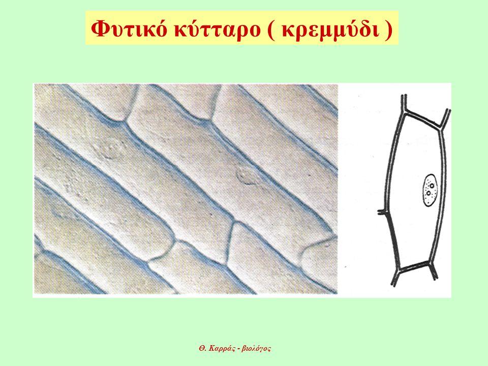 Φυτικό κύτταρο ( κρεμμύδι ) Θ. Καρράς - βιολόγος