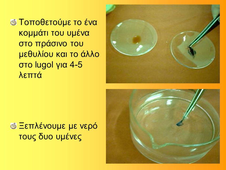 Τοποθετούμε το ένα κομμάτι του υμένα στο πράσινο του μεθυλίου και το άλλο στο lugol για 4-5 λεπτά Ξεπλένουμε με νερό τους δυο υμένες