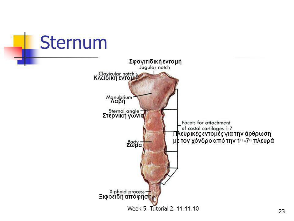 23 Sternum Λαβή Σώμα Ξιφοειδή απόφηση Κλειδική εντομή Σφαγιτιδική εντομή Στερνική γωνία Πλευρικές εντομές για την άρθρωση με τον χόνδρο από την 1 η -7