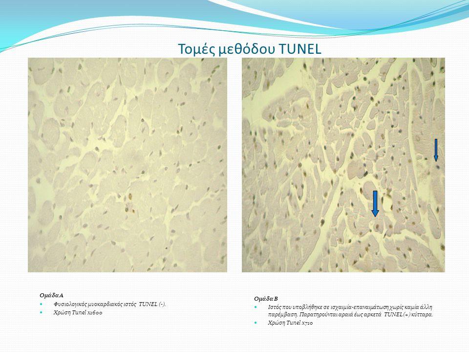 Τομές μεθόδου TUNEL Ομάδα Α Φυσιολογικός μυοκαρδιακός ιστός TUNEL (-). Χρώση Tunel x1600 Ομάδα Β Ιστός που υποβλήθηκε σε ισχαιμία-επαναιμάτωση χωρίς κ