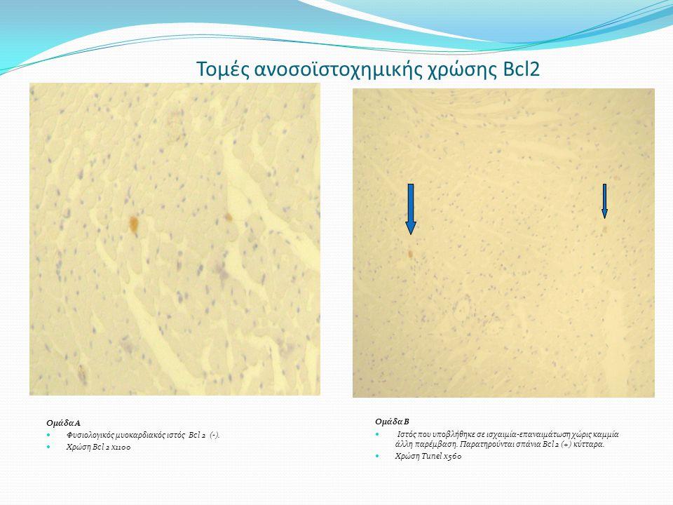 Τομές ανοσοϊστοχημικής χρώσης Bcl2 Ομάδα Α Φυσιολογικός μυοκαρδιακός ιστός Bcl 2 (-). Χρώση Bcl 2 x1100 Ομάδα Β Ιστός που υποβλήθηκε σε ισχαιμία-επανα