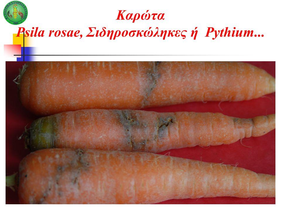Καρώτα Psila rosae, Σιδηροσκώληκες ή Pythium...