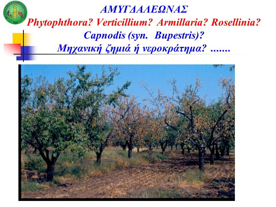 ΑΜΥΓΔΑΛΕΩΝΑΣ Phytophthora? Verticillium? Armillaria? Rosellinia? Capnodis (syn. Bupestris)? Μηχανική ζημιά ή νεροκράτημα?.......