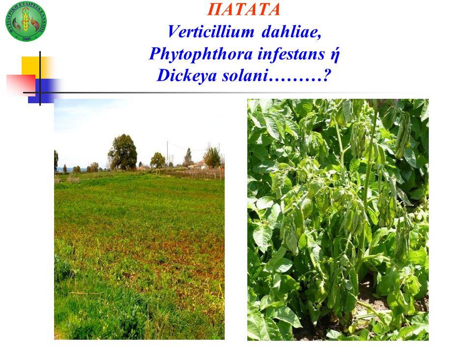 ΠΑΤΑΤΑ Verticillium dahliae, Phytophthora infestans ή Dickeya solani………?