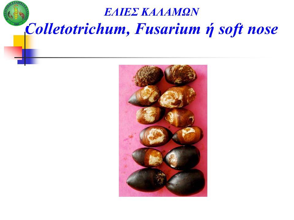 ΕΛΙΕΣ ΚΑΛΑΜΩΝ Colletotrichum, Fusarium ή soft nose