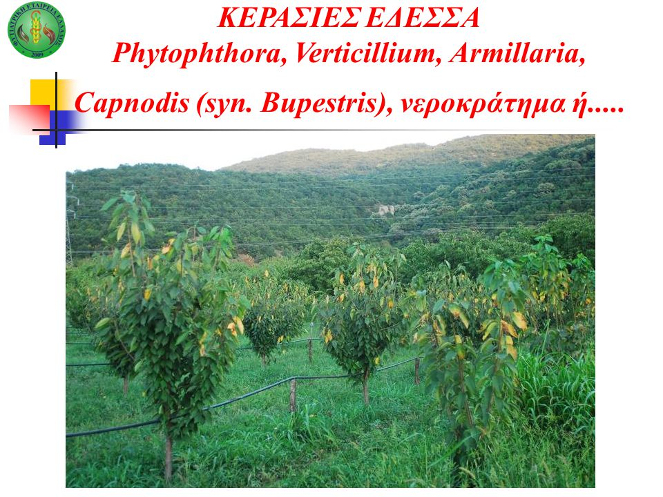 ΚΕΡΑΣΙΕΣ ΕΔΕΣΣΑ Phytophthora, Verticillium, Armillaria, Capnodis (syn. Bupestris), νεροκράτημα ή.....