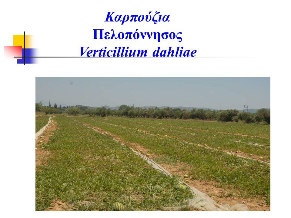 Καρπούζια Πελοπόννησος Verticillium dahliae
