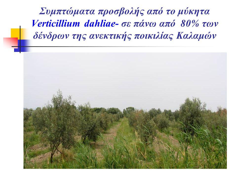Συμπτώματα προσβολής από το μύκητα Verticillium dahliae- σε πάνω από 80% των δένδρων της ανεκτικής ποικιλίας Καλαμών