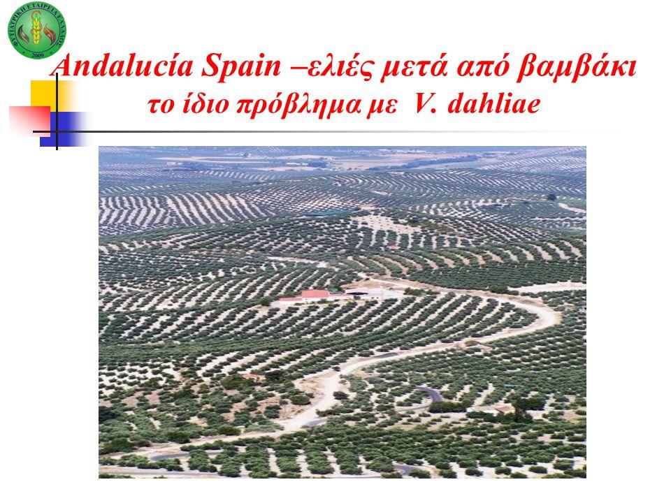 Andalucía Spain –ελιές μετά από βαμβάκι το ίδιο πρόβλημα με V. dahliae