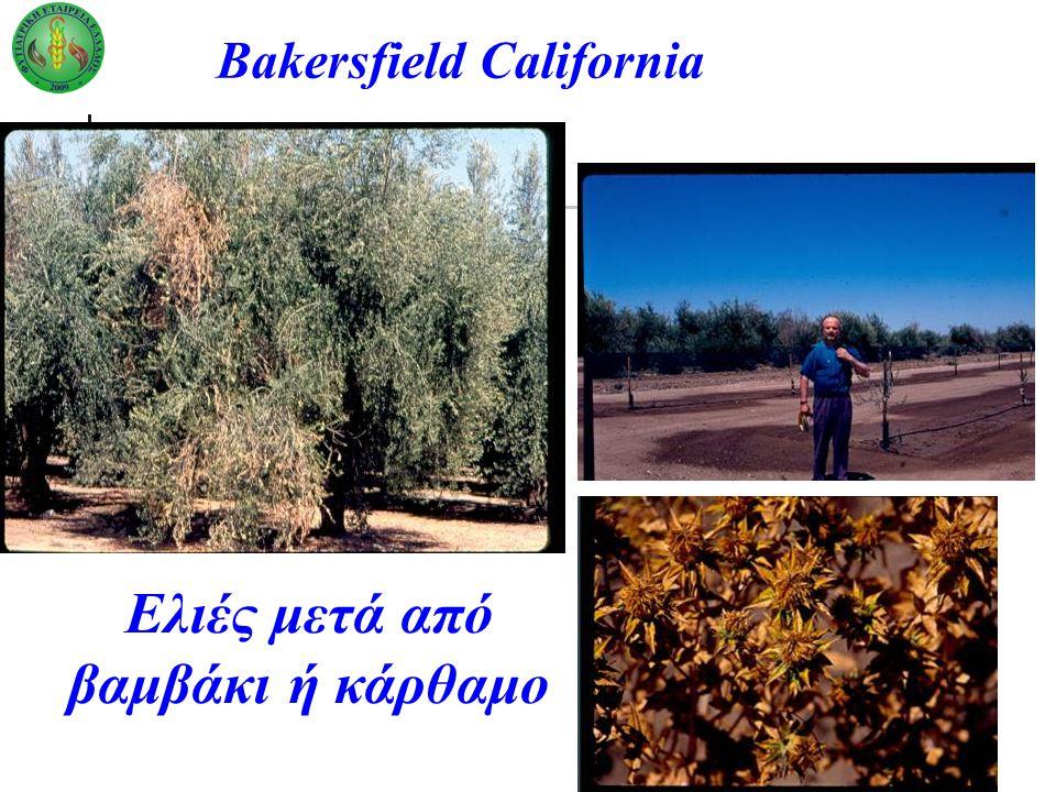 Bakersfield California Ελιές μετά από βαμβάκι ή κάρθαμο