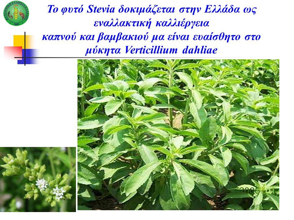 Το φυτό Stevia δοκιμάζεται στην Ελλάδα ως εναλλακτική καλλιέργεια καπνού και βαμβακιού μα είναι ευαίσθητο στο μύκητα Verticillium dahliae