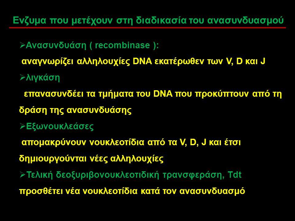  Ανασυνδυάση ( recombinase ): αναγνωρίζει αλληλουχίες DNA εκατέρωθεν των V, D και J  λιγκάση επανασυνδέει τα τμήματα του DNA που προκύπτουν από τη δ