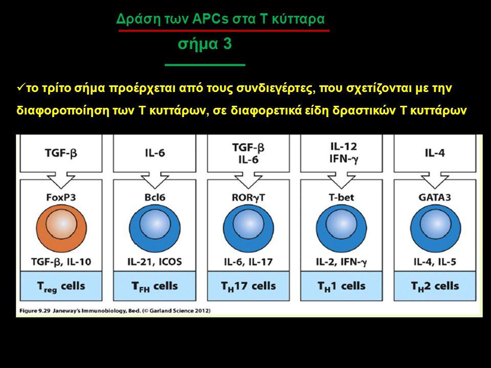 Δράση των APCs στα Τ κύτταρα σήμα 3 το τρίτο σήμα προέρχεται από τους συνδιεγέρτες, που σχετίζονται με την διαφοροποίηση των Τ κυττάρων, σε διαφορετικ