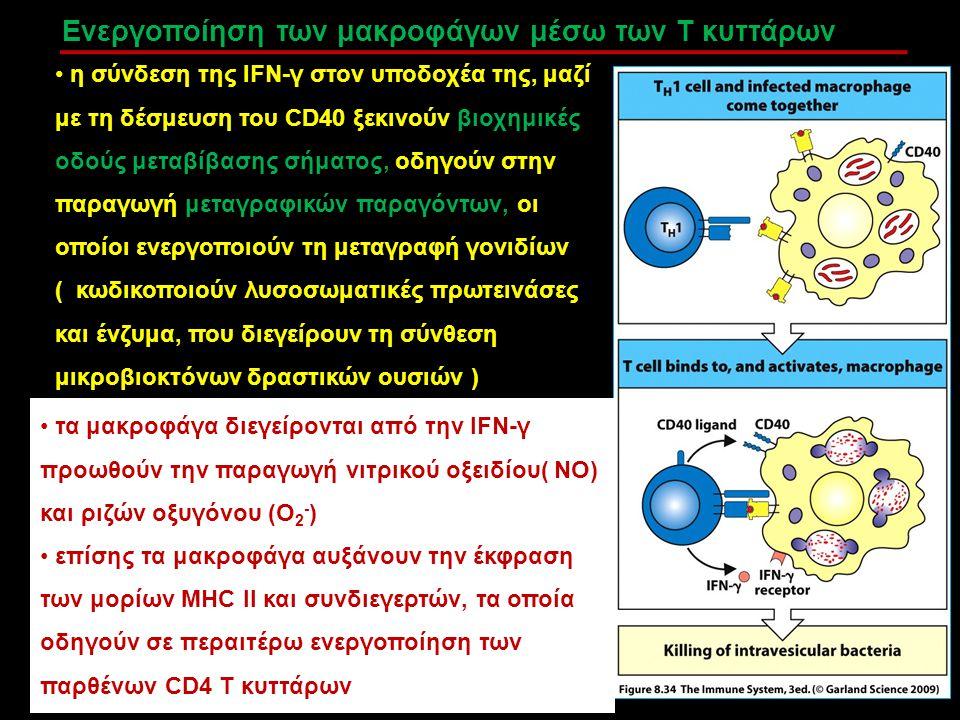 Ενεργοποίηση των μακροφάγων μέσω των Τ κυττάρων η σύνδεση της IFN-γ στον υποδοχέα της, μαζί με τη δέσμευση του CD40 ξεκινούν βιοχημικές οδούς μεταβίβα