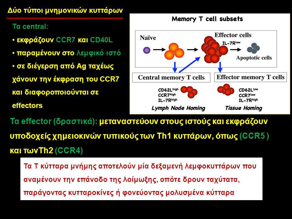 Τα central: εκφράζουν CCR7 και CD40L παραμένουν στο λεμφικό ιστό σε διέγερση από Ag ταχέως χάνουν την έκφραση του CCR7 και διαφοροποιούνται σε effecto