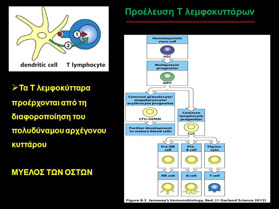 Προέλευση Τ λεμφοκυττάρων  Τα Τ λεμφοκύτταρα προέρχονται από τη διαφοροποίηση του πολυδύναμου αρχέγονου κυττάρου ΜΥΕΛΟΣ ΤΩΝ ΟΣΤΩΝ