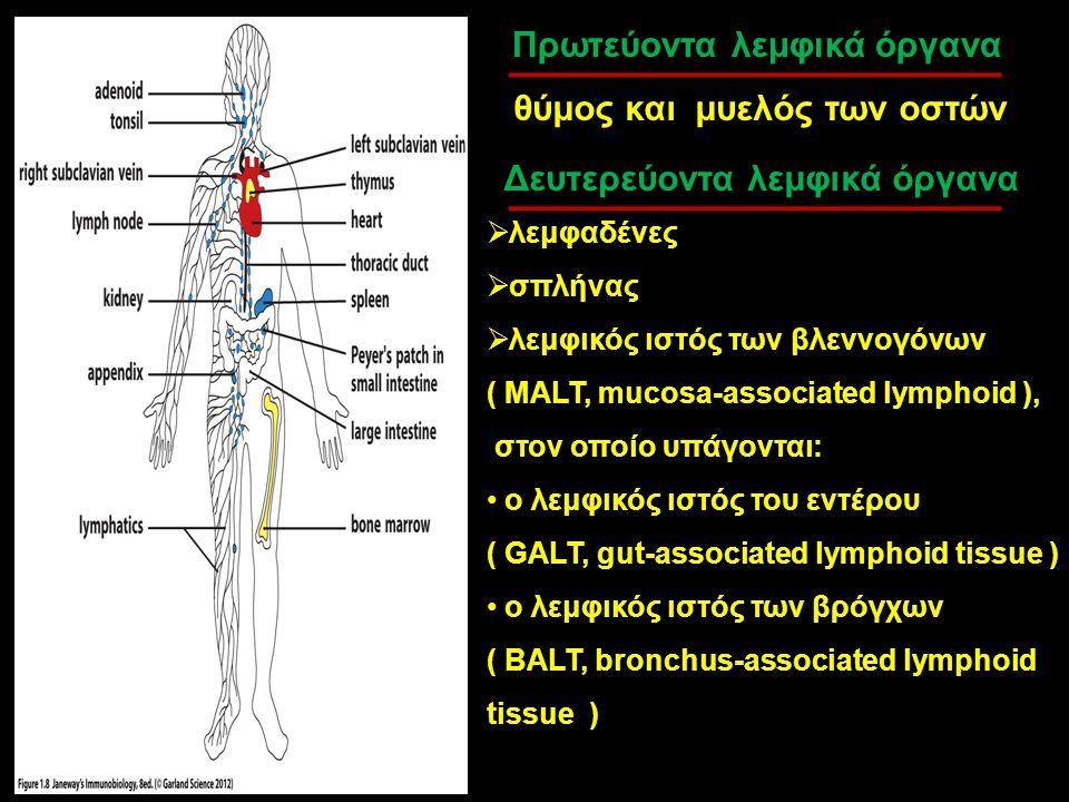 Πρωτεύοντα λεμφικά όργανα θύμος και μυελός των οστών Δευτερεύοντα λεμφικά όργανα  λεμφαδένες  σπλήνας  λεμφικός ιστός των βλεννογόνων ( MALT, mucos