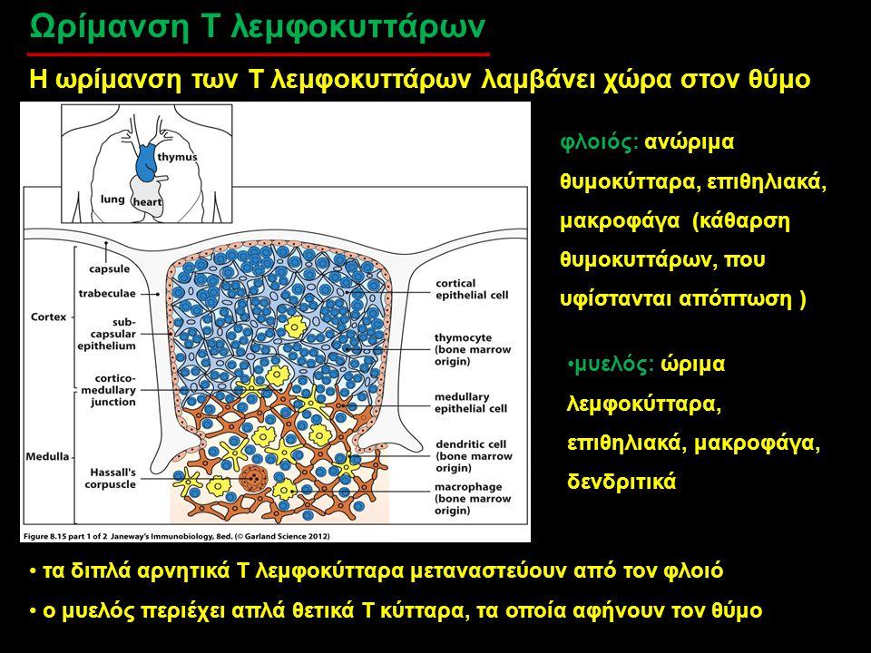Ωρίμανση Τ λεμφοκυττάρων Η ωρίμανση των Τ λεμφοκυττάρων λαμβάνει χώρα στον θύμο φλοιός: ανώριμα θυμοκύτταρα, επιθηλιακά, μακροφάγα (κάθαρση θυμοκυττάρ