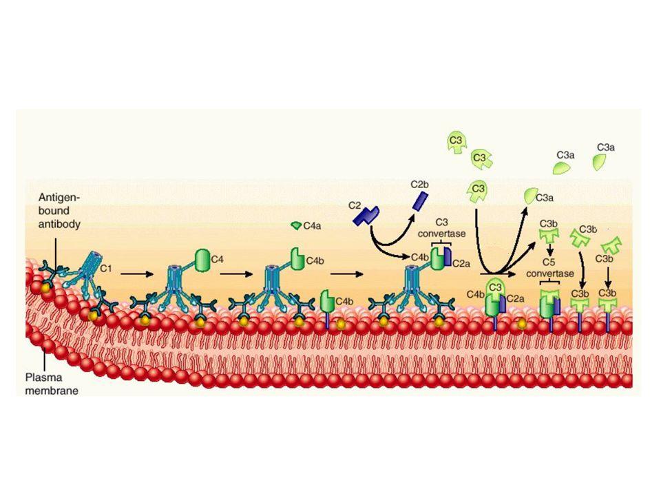 ΔΡΑΣΗ ΠΡΩΤΕΪΝΕΣ ΤΟΥ ΣΥΜΠΛΗΡΩΜΑΤΟΣ ΥΠΕΥΘΥΝΕΣ ΓΙΑ ΤΗ ΔΡΑΣΗ ΑΥΤΉ ΑΜΥΝΑ ΕΝΑΝΤΙ ΛΟΙΜΩΞΕΩΝ  Λύση βακτηρίων και κυττάρων  Σύμπλοκο προσβολής της μεμβράνης (C5b- C9)  Οψωνινιποίηση  Ομοιοπολικά συνδεμένα τμήματα του C3 και C4  Χημειοταξία και ενεργοποίηση λευκοκυττάρων  Αναφυλατοξίνες και υποδοχείς τους στα λευκοκύτταρα ΑΠΟΒΟΛΗ ΤΩΝ ΠΕΡΙΤΤΩΝ ΣΤΟΙΧΕΙΩΝ  Κάθαρση ανοσοσυμπλεγμάτων από τους ιστούς  C1q, ομοιοπολικά συνδεμένα τμήματα του C3 και C4  Κάθαρση αποπτωτικών κυττάρων  C1q, ομοιοπολικά συνδεμένα τμήματα του C3 και C4 ΓΕΦΥΡΑ ΜΕΤΑΞΥ ΦΥΣΙΚΗΣ ΚΑΙ ΕΠΙΚΤΗΤΗΣ ΑΝΟΣΙΑΣ  Αύξηση των αντισωματικών απαντήσεων  C3b και C4b συνδεμένα σε ανοσοσυμπλέγματα και αντιγόνο, υποδοχείς του C3 στα Β και στα αντιγονοπαρουσιαστικά κύτταρα  Ενίσχυση της ανοσολογικής μνήμης  C3b και C4b συνδεμένα σε ανοσοσυμπλέγματα και αντιγόνο, υποδοχείς του C3 στα θυλακιώδη δενδριτικά κύτταρα ΟΙ ΤΡΕΙΣ ΚΥΡΙΕΣ ΦΥΣΙΟΛΟΓΙΚΕΣ ΔΡΑΣΕΙΣ ΤΟΥ ΣΥΣΤΗΜΑΤΟΣ ΤΟΥ ΣΥΜΠΛΗΡΩΜΑΤΟΣ