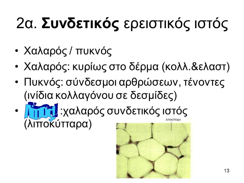 13 2α. Συνδετικός ερειστικός ιστός •Χαλαρός / πυκνός •Χαλαρός: κυρίως στο δέρμα (κολλ.&ελαστ) •Πυκνός: σύνδεσμοι αρθρώσεων, τένοντες (ινίδια κολλαγόνο