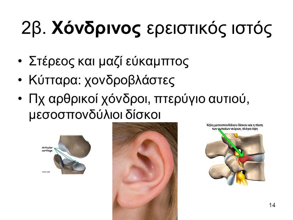 14 2β. Χόνδρινος ερειστικός ιστός •Στέρεος και μαζί εύκαμπτος •Κύτταρα: χονδροβλάστες •Πχ αρθρικοί χόνδροι, πτερύγιο αυτιού, μεσοσπονδύλιοι δίσκοι