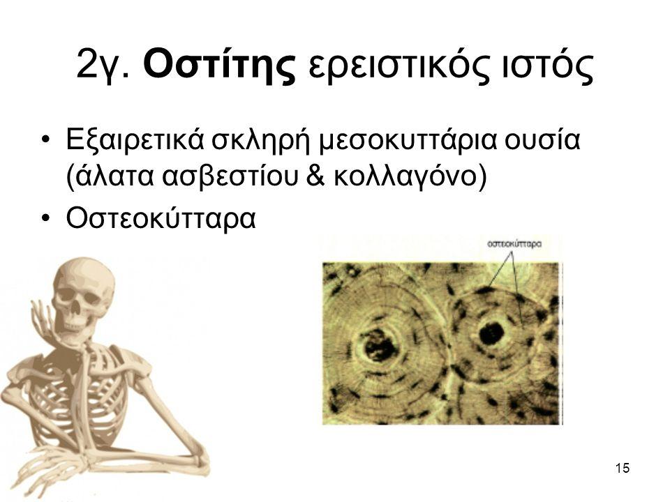 15 2γ. Οστίτης ερειστικός ιστός •Εξαιρετικά σκληρή μεσοκυττάρια ουσία (άλατα ασβεστίου & κολλαγόνο) •Οστεοκύτταρα