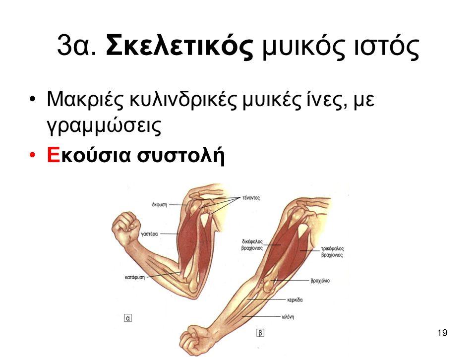 19 3α. Σκελετικός μυικός ιστός •Μακριές κυλινδρικές μυικές ίνες, με γραμμώσεις •Εκούσια συστολή