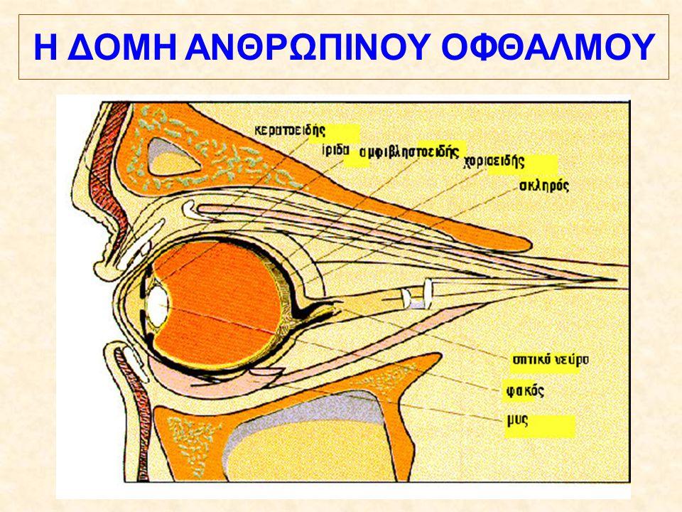Ο οφθαλμός αποτελεί κλειστό όργανο και μοιάζει με κοίλη σφαίρα διαμέτρου περίπου 24 mm.