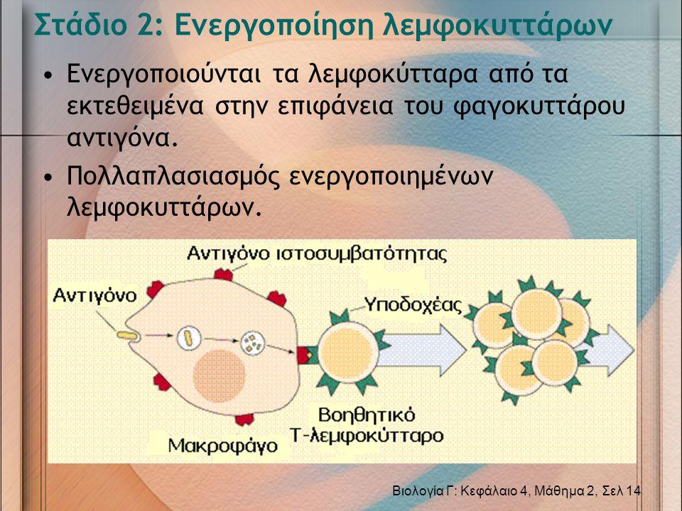 Στάδιο 2: Ενεργοποίηση λεμφοκυττάρων •Ενεργοποιούνται τα λεμφοκύτταρα από τα εκτεθειμένα στην επιφάνεια του φαγοκυττάρου αντιγόνα. •Πολλαπλασιασμός εν