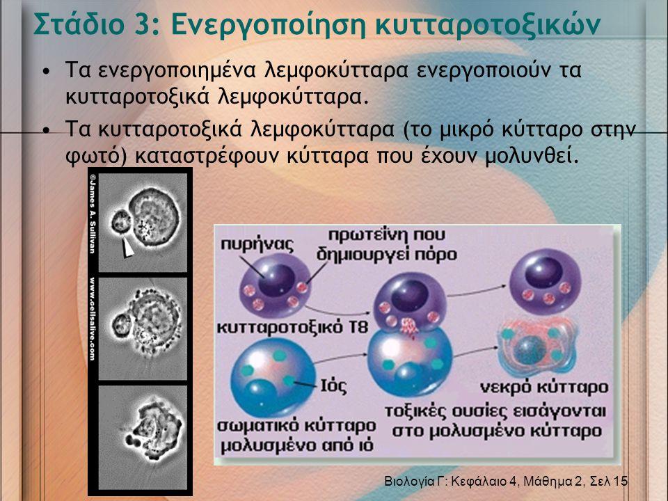 Στάδιο 3: Ενεργοποίηση κυτταροτοξικών •Τα ενεργοποιημένα λεμφοκύτταρα ενεργοποιούν τα κυτταροτοξικά λεμφοκύτταρα. •Τα κυτταροτοξικά λεμφοκύτταρα (το μ