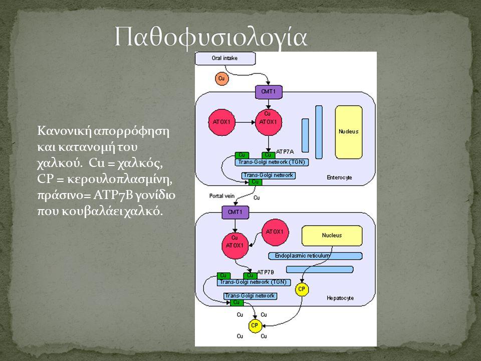 Κανονική απορρόφηση και κατανομή του χαλκού. Cu = χαλκός, CP = κερουλοπλασμίνη, πράσινο= ATP7B γονίδιο που κουβαλάει χαλκό.
