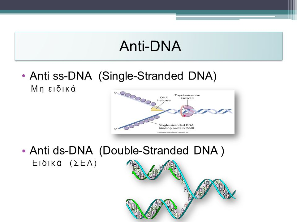 Anti-DΝΑ •Anti ss-DNA (Single-Stranded DNA) Μη ειδικά • Anti ds-DNA (Double-Stranded DNA ) Ειδικά (ΣΕΛ)
