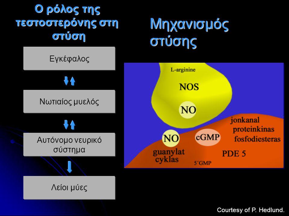 Εγκέφαλος Νωτιαίος μυελός Αυτόνομο νευρικό σύστημα Λείοι μύες Ο ρόλος της τεστοστερόνης στη στύση Courtesy of P. Hedlund. Μηχανισμός στύσης