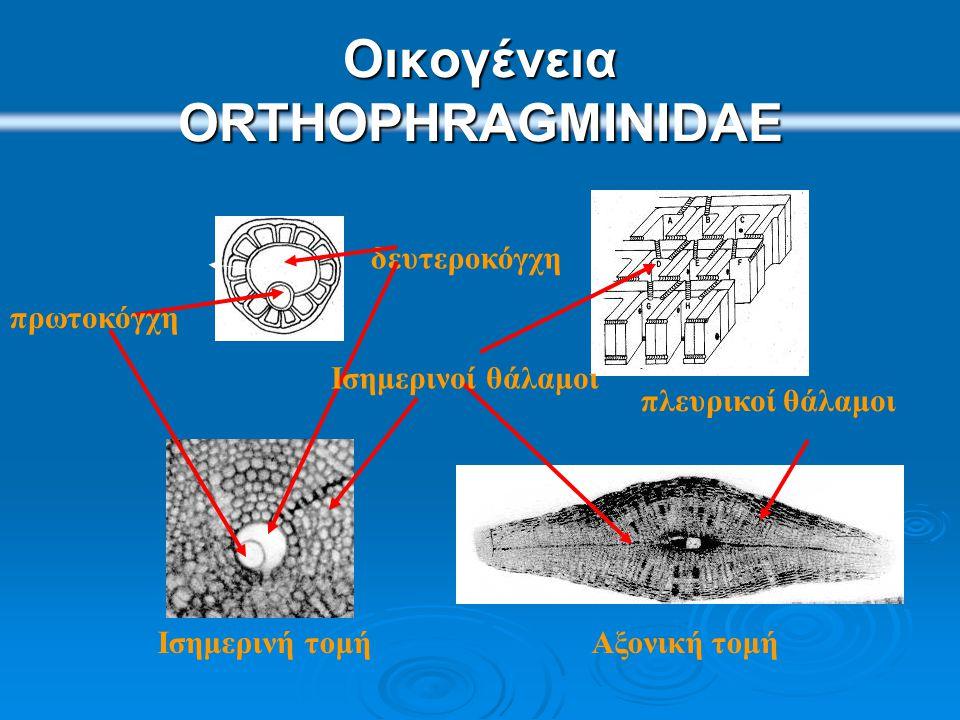 Discocyclina- Aktinocyclina- Asterodiscus DiscocyclinaAktinocyclina Asterodiscus