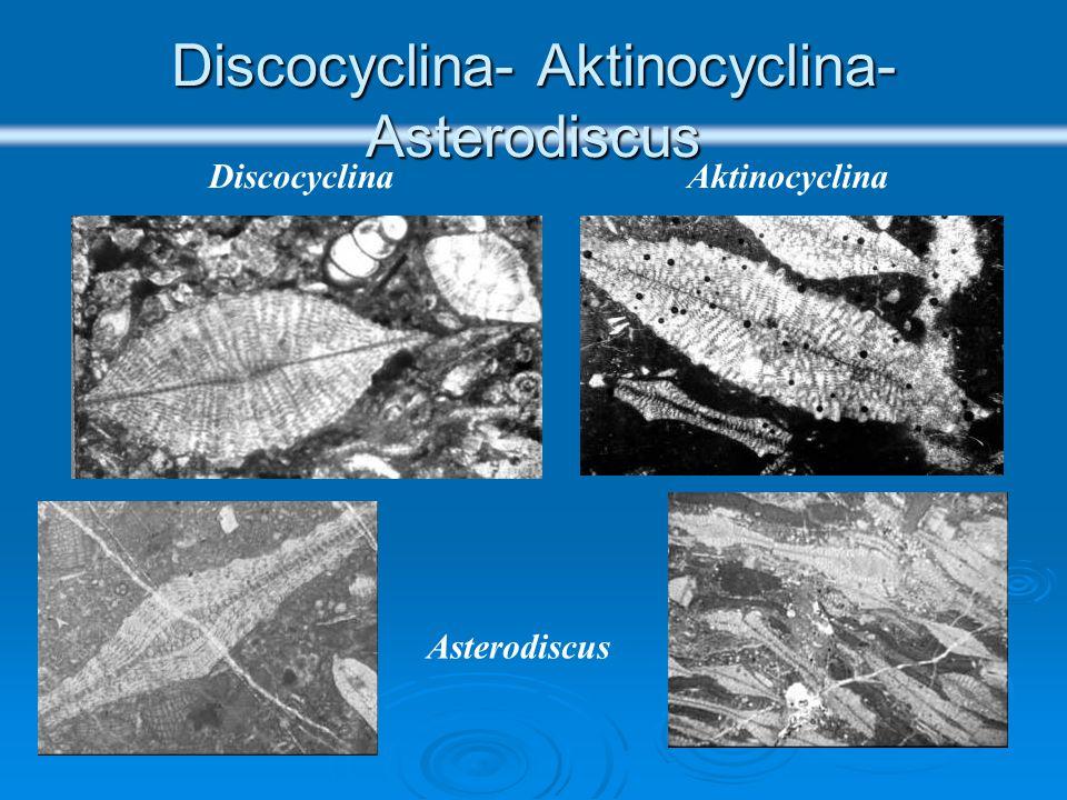 Οικογένεια ORTHOPHRAGMINIDAE Πλάγιες τομές Orthophragminidae Ισημερινοί θάλαμοι Πλευρικοί θάλαμοι