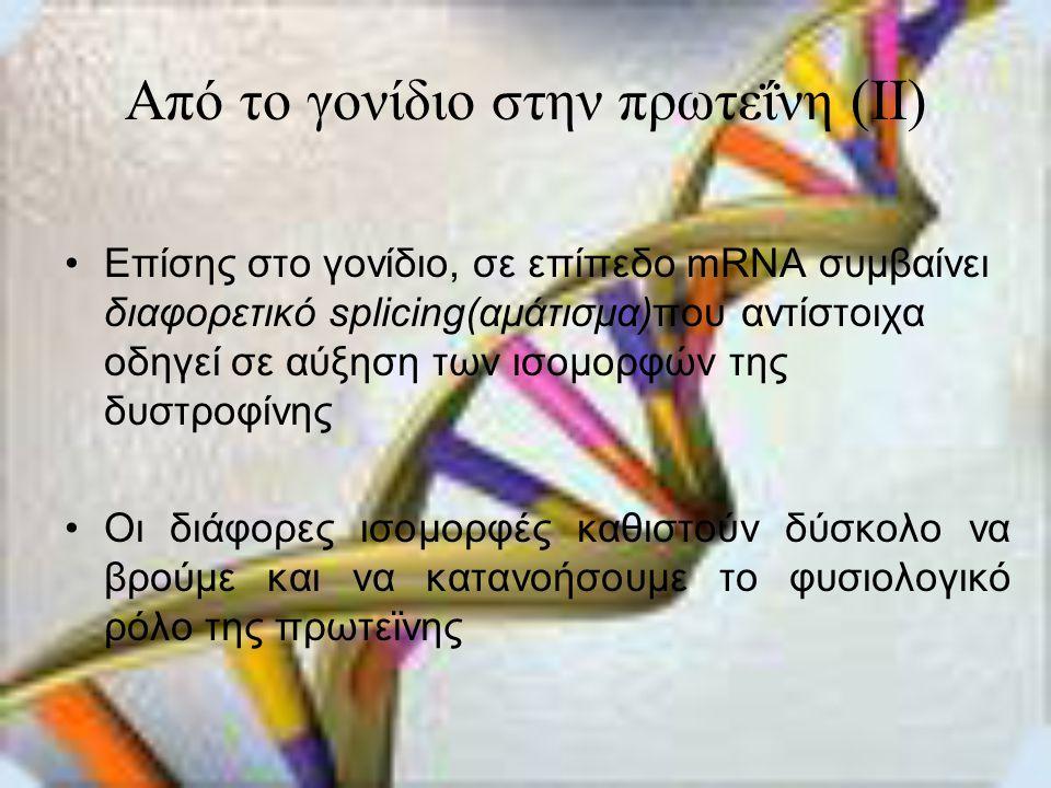 Από το γονίδιο στην πρωτεΐνη (II) •Επίσης στο γονίδιο, σε επίπεδο mRNA συμβαίνει διαφορετικό splicing(αμάτισμα)που αντίστοιχα οδηγεί σε αύξηση των ισομορφών της δυστροφίνης •Οι διάφορες ισομορφές καθιστούν δύσκολο να βρούμε και να κατανοήσουμε το φυσιολογικό ρόλο της πρωτεϊνης