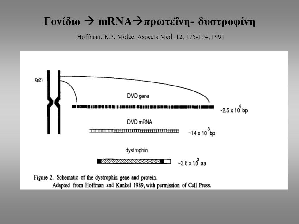 Γονίδιο  mRNA  πρωτεΐνη- δυστροφίνη Hoffman, E.P. Molec. Aspects Med. 12, 175-194, 1991
