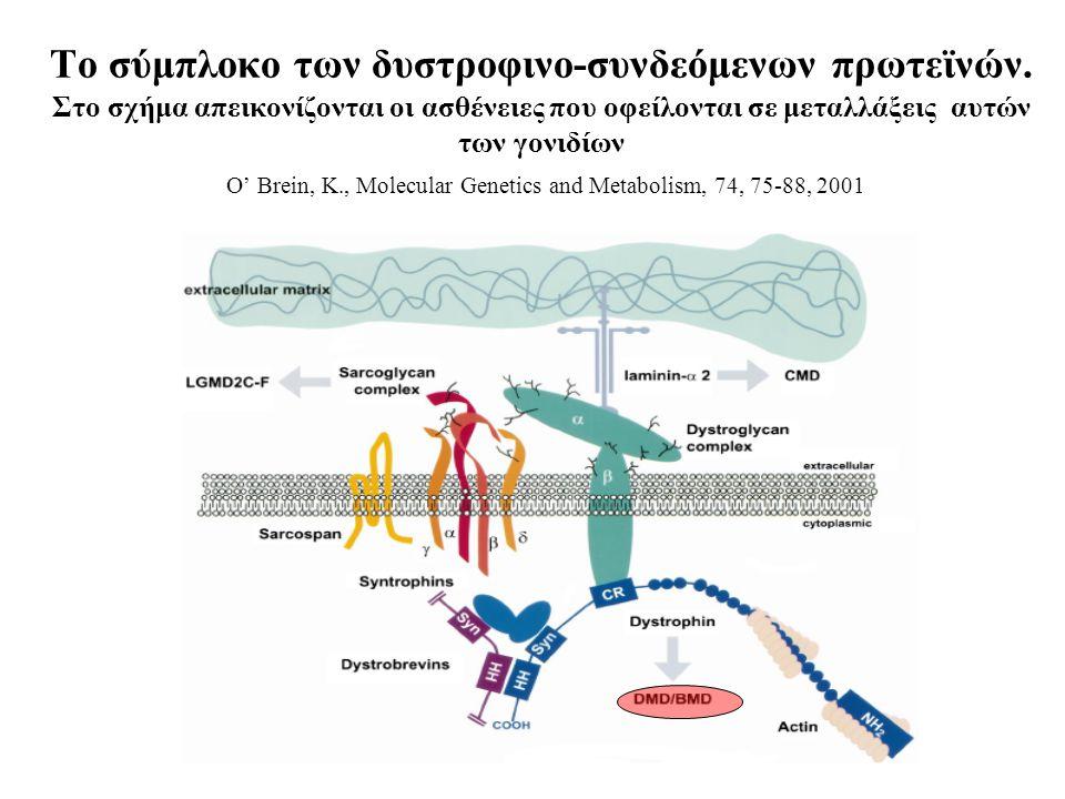 Το σύμπλοκο των δυστροφινο-συνδεόμενων πρωτεϊνών.