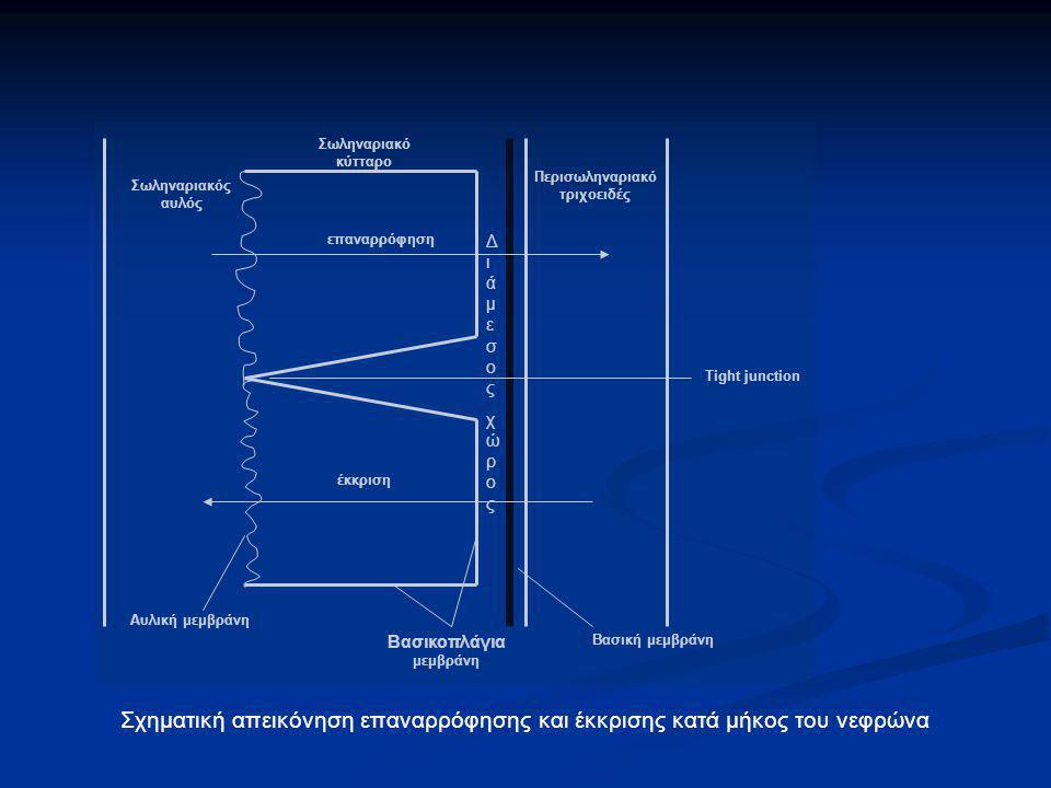 Σωληναριακός αυλός Περισωληναριακό τριχοειδές επαναρρόφηση έκκριση Βασική μεμβράνη Tight junction Βασικοπλάγια μεμβράνη Σωληναριακό κύτταρο Αυλική μεμ