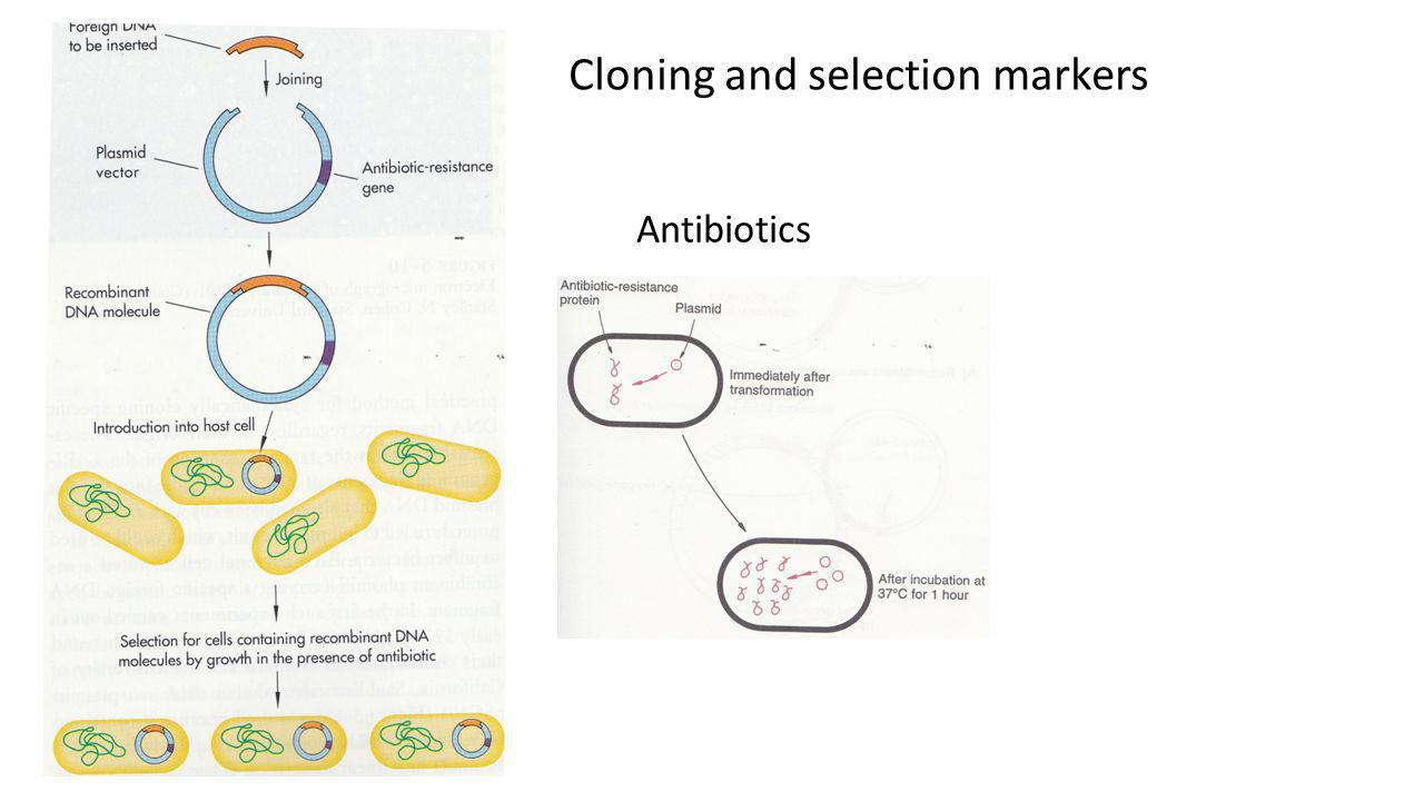 Cloning and selection markers Antibiotics