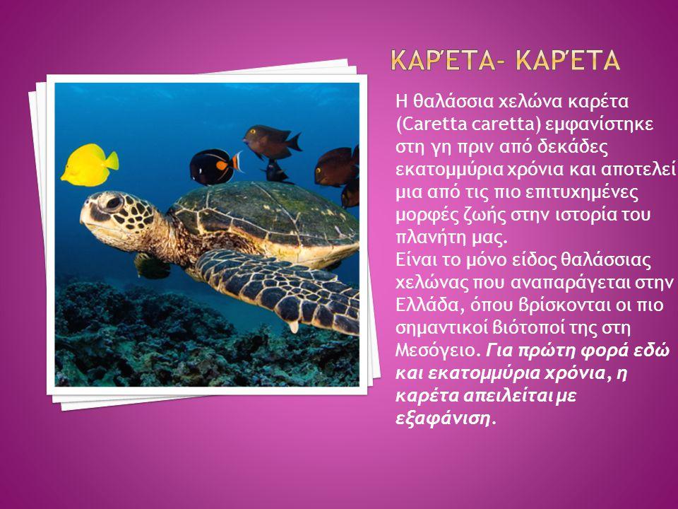 Η θαλάσσια χελώνα καρέτα (Caretta caretta) εμφανίστηκε στη γη πριν από δεκάδες εκατομμύρια χρόνια και αποτελεί μια από τις πιο επιτυχημένες μορφές ζωή