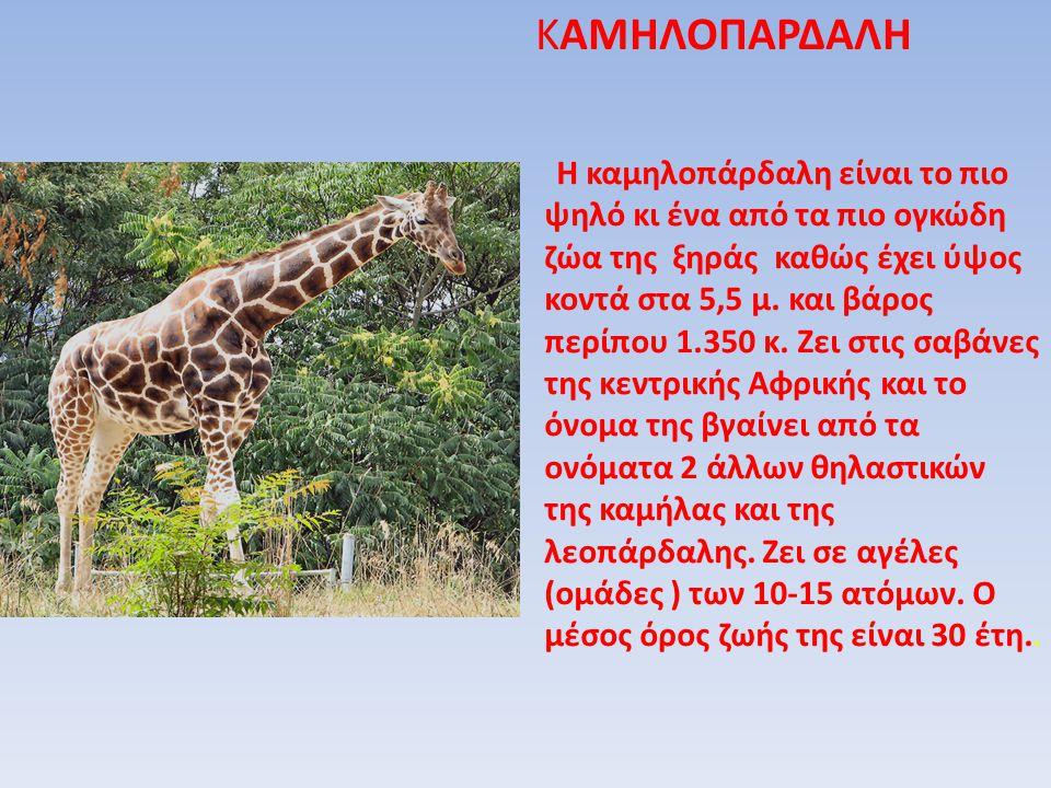 Η καμηλοπάρδαλη είναι το πιο ψηλό κι ένα από τα πιο ογκώδη ζώα της ξηράς καθώς έχει ύψος κοντά στα 5,5 μ. και βάρος περίπου 1.350 κ. Ζει στις σαβάνες