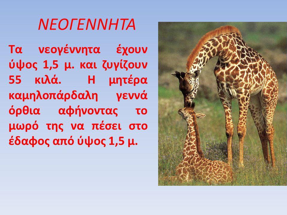 Τα νεογέννητα έχουν ύψος 1,5 μ. και ζυγίζουν 55 κιλά. Η μητέρα καμηλοπάρδαλη γεννά όρθια αφήνοντας το μωρό της να πέσει στο έδαφος από ύψος 1,5 μ. ΝΕΟ