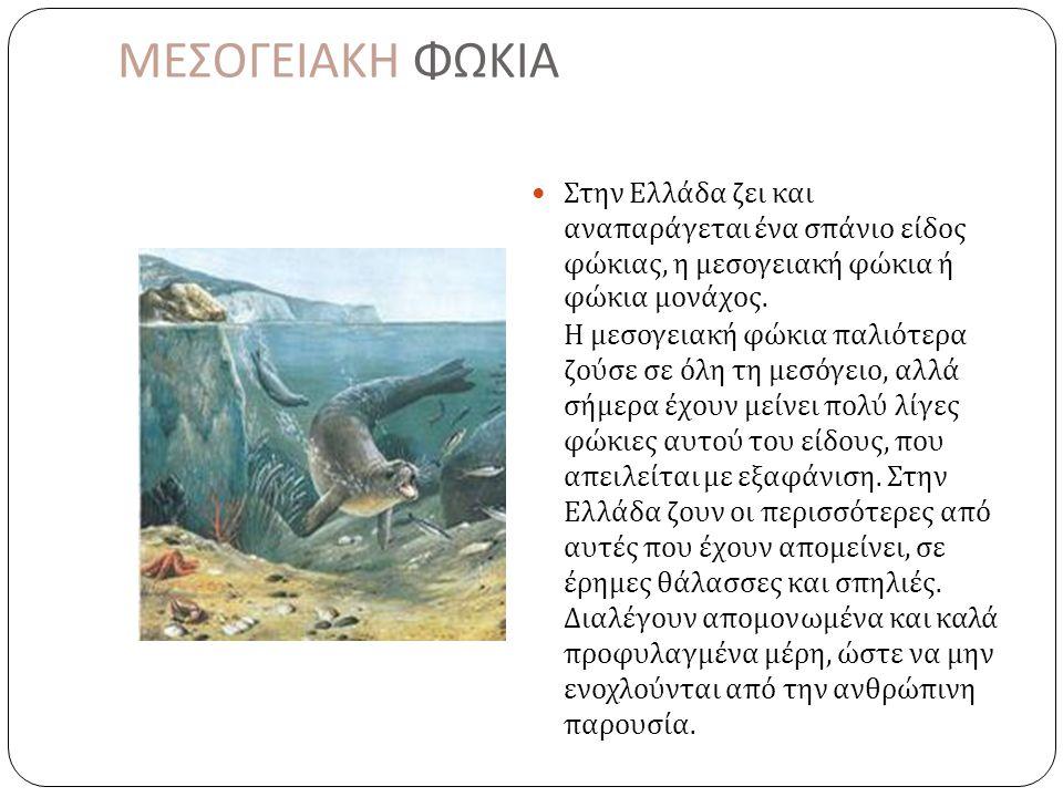 ΜΕΣΟΓΕΙΑΚΗ ΦΩΚΙΑ  Στην Ελλάδα ζει και αναπαράγεται ένα σπάνιο είδος φώκιας, η μεσογειακή φώκια ή φώκια μονάχος.