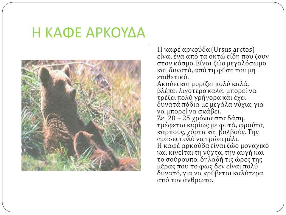 Η ΚΑΦΕ ΑΡΚΟΥΔΑ  Η καφέ αρκούδα (Ursus arctos) είναι ένα από τα οκτώ είδη που ζουν στον κόσμο.