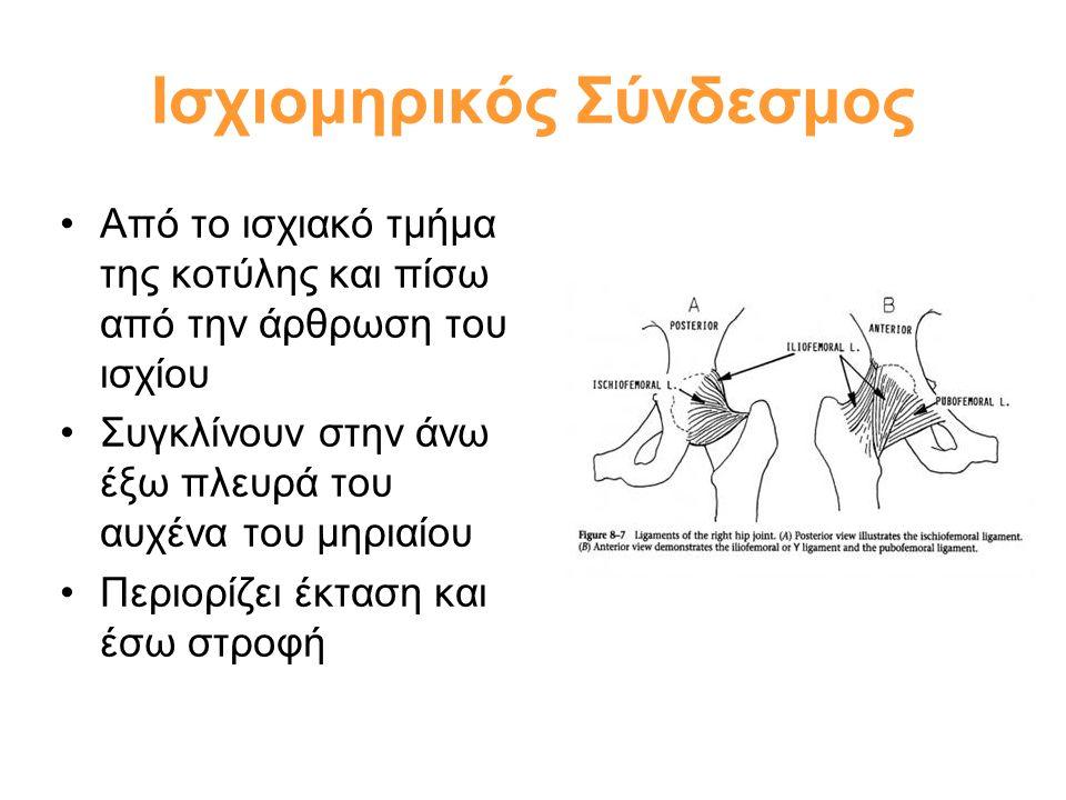 •Από το ισχιακό τμήμα της κοτύλης και πίσω από την άρθρωση του ισχίου •Συγκλίνουν στην άνω έξω πλευρά του αυχένα του μηριαίου •Περιορίζει έκταση και έ